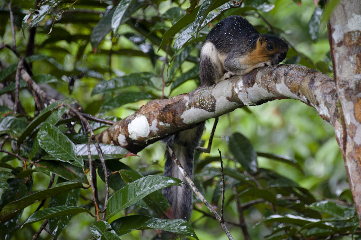 KyleMerriman.com   Borneo Wildlife