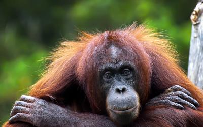 Patient Orangutan